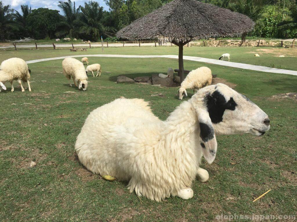 スワンラマイの羊