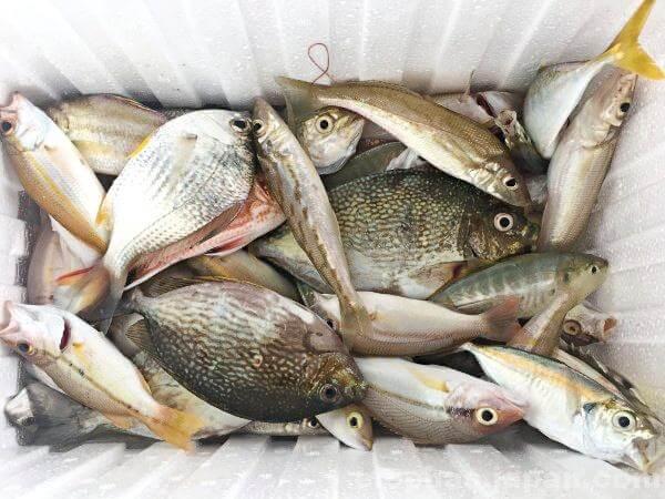 陣田筏で釣れた魚