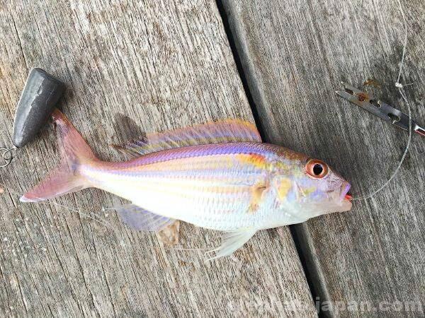 陣田筏で釣れた魚3